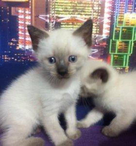 Очаровательные сиамские котята.
