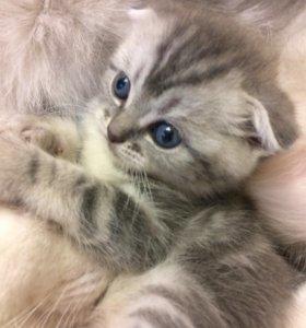Продаю котёнка!