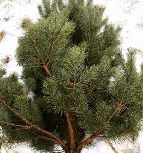 Живые елки с доставкой по Казани в розницу