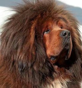 Йодов-красные шикарные Тибетские щеночки
