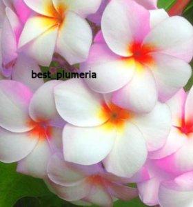Семена Плюмерии