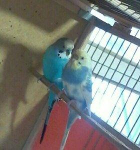 Попугай волнистый самочка желто -голубая