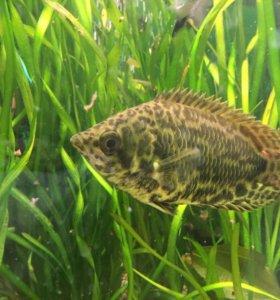 Аквариумная рыбка Ктенопома леопардовая