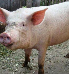 Свиньи 8 месяцев на мясо