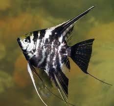 Рыбка скалярия мраморная