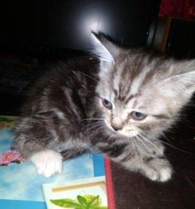 Вискасный котенок