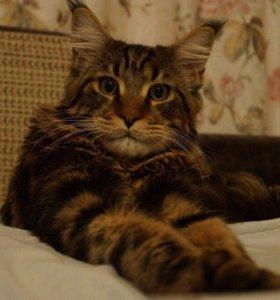 Кот на Вязку Мейн-кун