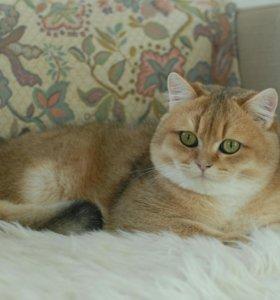 Британский золотой кот