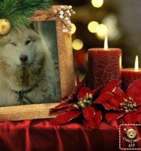 Продам аляскинского маламута щеночка!