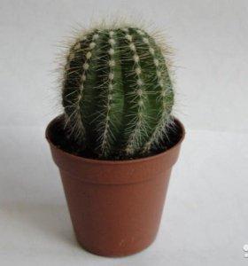 Кактусы, суккуленты и другие растения