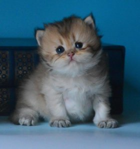 Британский длинношерстный золотой котенок