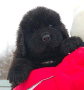 Щенок, ньюфаундленд, маленький медвежонок