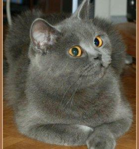 Продам кошку шотландской породы
