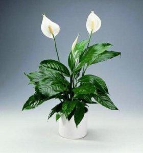 Цветок. Спатифиллум - Женское счастье