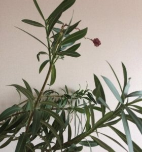 Цветок Олеандр розовый