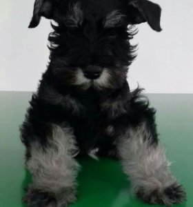 Продаётся щенок породы цвергшнауцер