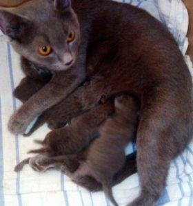 Шотландские котята, рождены 11.12.17г.Бронируйте)