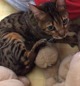 Бенгальская кошка_возраст около года_в добрые руки