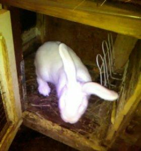 Кролики больших пород