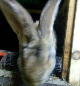 Кролики на мясо от2кг.