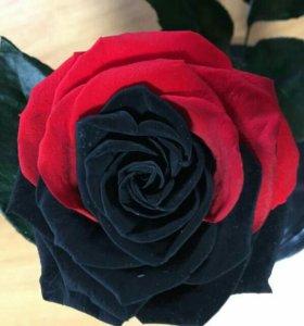 Роза в колбах-живая