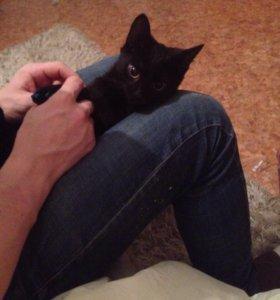 Сибирский котёнок даром