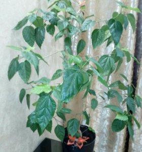 Гибискус( Китайская роза)