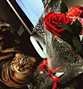 Вязка шотландский котик красавец