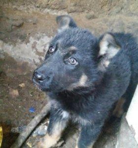 Продам щенка полтора месяца самка
