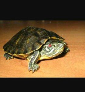 Срочно!!!Красноухая черепаха