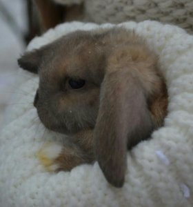 "Кролик ,,вислоухий баран"""