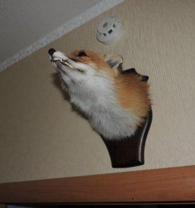 Продам чючело лисы