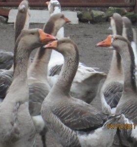 Продаю гусей, уток белых, индоуток, кроликов.