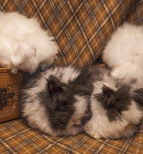 Ангорский кролик , декоративный . Домашний питомец