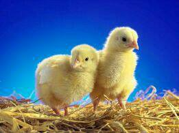 Цыплята корм