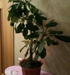 Растение эуфобия (малочай)