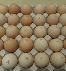 Инкубационное яйцо индейки