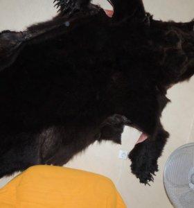 Продам шкуру бурова медведя