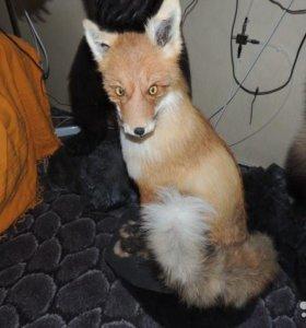 Продам чючело лисы во весь рост