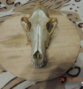 Продам череб волка