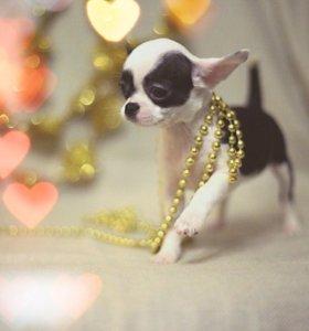 Чихуахуа-породистые щенки