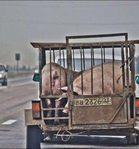 Закупаю свиньей 100р живой вес