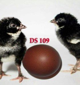 СОБИРАЮ ЗАЯВКУ на инкубационное яйцо .