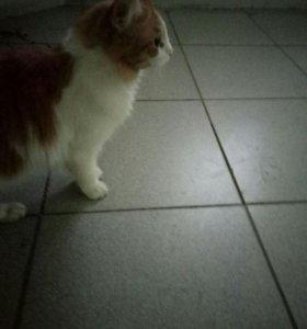 Красивый, рыжий кот