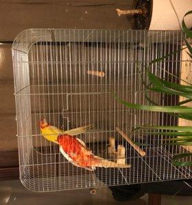 Попугаи Розелла мальчик и девочка