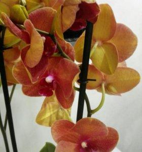 Орхидея сортовая Phalaenopsis Surf Song