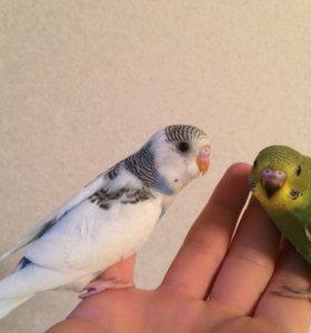 Ручные птенцы - самцы волнистого попугая