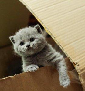 Шотландские котята ( Скотиш-Страйт)
