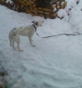 Собака долматинец