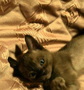 Кошки,бурманские котята